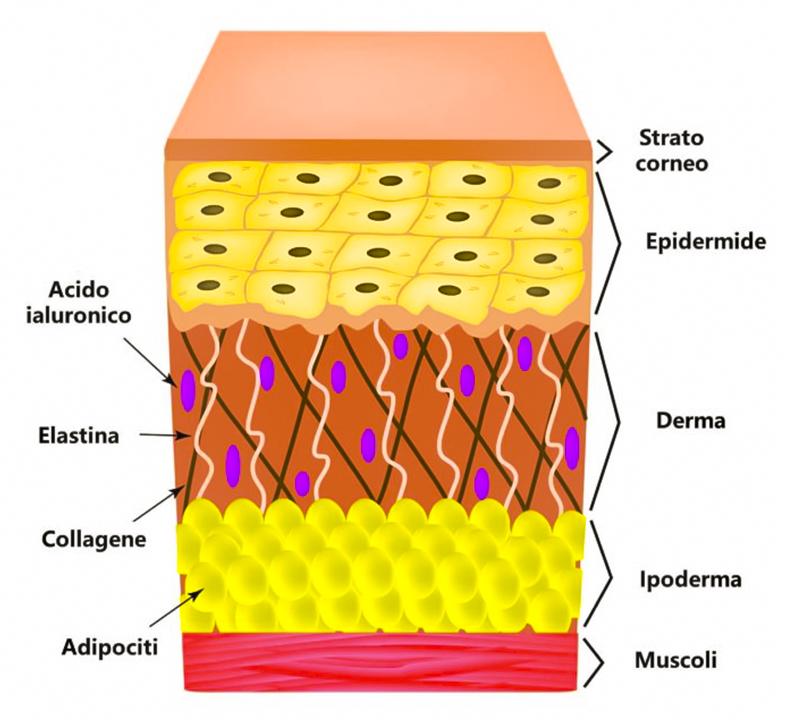 Struttura della pelle. Ringiovanimento del Viso con Radiesse Catania